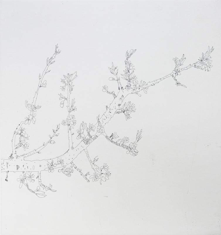 Blackthorne Drawing